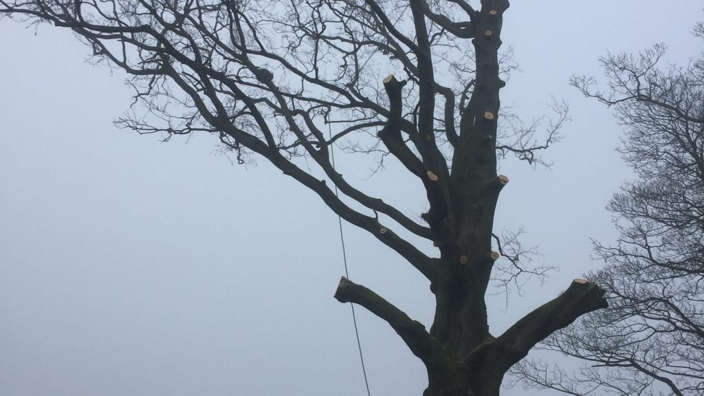 cms-tree-services-beech-branches-removed