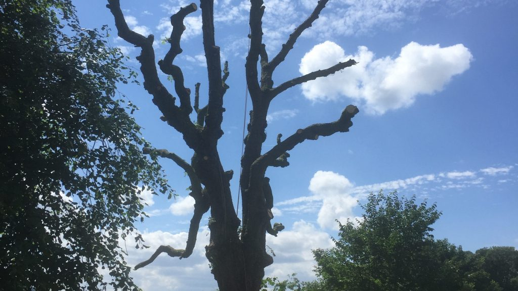 cms-tree-services-horse-chestnut-removal