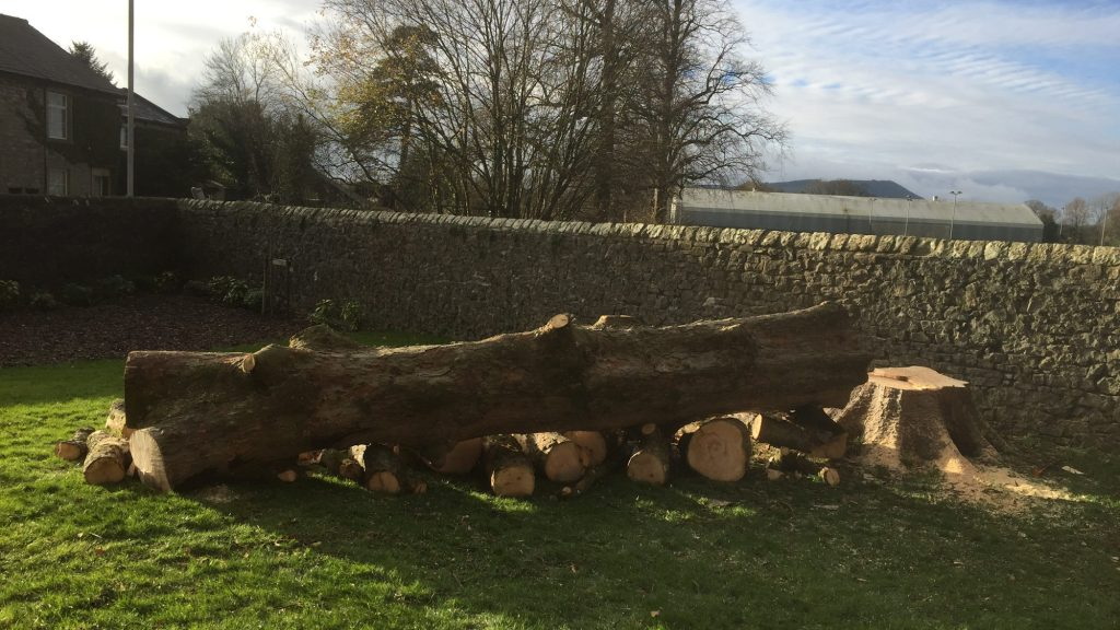 cms-tree-services-sycamore-felled